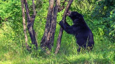 Sloth Bear Licking Tree Bark, Bs  Venkatesh , India