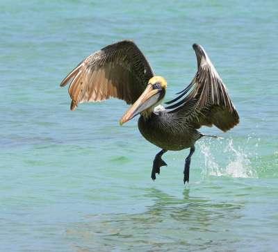 Pelican 2, Rasputnis  Alexander , Usa