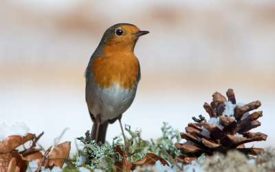 Robin In Winter, Schmitz  Willi , Germany