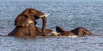 Bathing Elephants Playing, Atkinson  Richard , England