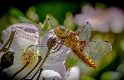 Broad Bodied Chaser, Atkinson  Richard , England