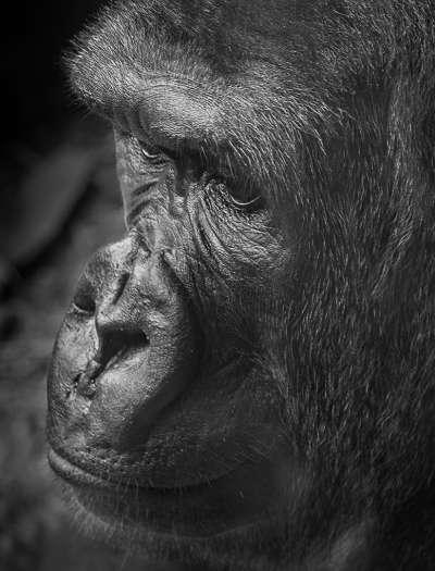 Gorilla, Stranaghan  Virginia , Canada