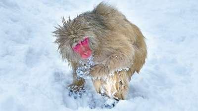Snow Wild Ape 58, Chan  H. W. , Hong Kong