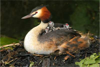 Grebes Family, Bacle  Jean Claude , France