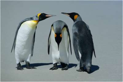 Three Penguins Postures, Bacle  Jean Claude , France