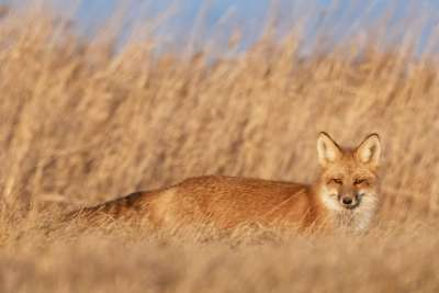 Red Fox Staring, Chan  Tin Sang , Canada