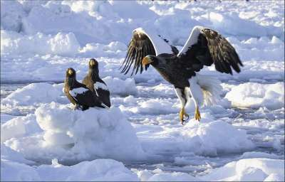 Steller Eagle Landing 38, Kwan  Phillip , Canada