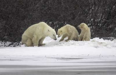 Bear And Cub 23, Kwan  Phillip , Canada