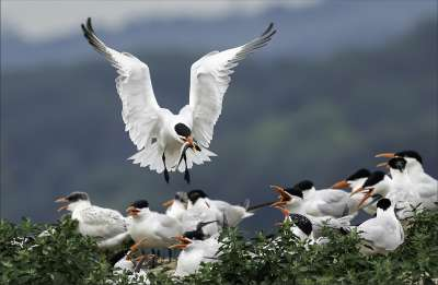 Tern Return With Fish 85, Kwan  Phillip , Canada