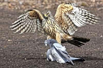 Hawk With Prey, Van Echelpoel  Rene , Belgium