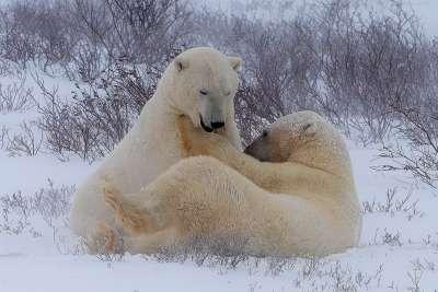 Polar Bear Choking, Chan  Betty , Canada