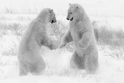Polar Bears FaceOff 99381, Chan  Betty , Canada