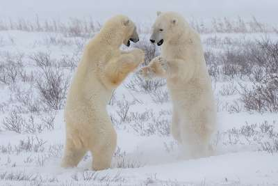 Polar Bear Boxing, Chan  Betty , Canada