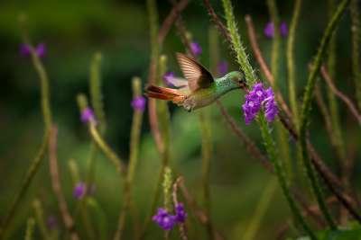 Hummingbird, Jeannin  Laurent , Belgium