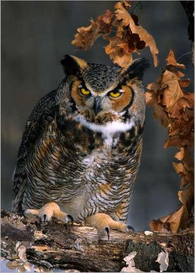 Great Horned Owl Hooting, Kramer  Irene , Usa