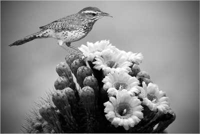 Cactus Wren On Saguaro, Kramer  Irene , Usa