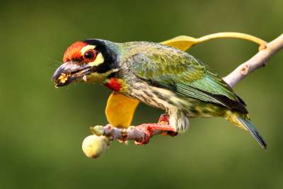 COPPERSMIT BARBET WITH FRUIT, Panameshalu  H R , India