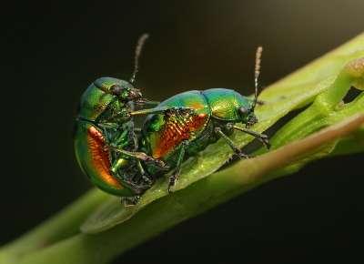 Green Dock Beetles In Love, Kumar  Ashok , India