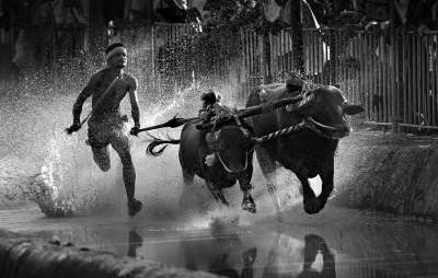 Buffalo Race, Kumar  Ashok , India