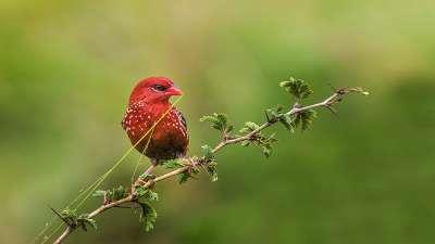 Red Munia, K.m  Narayanaswamy , India