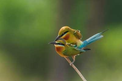 Mating Beeeaters, K.m  Narayanaswamy , India